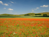 Poppy fields in Vale of Pewsey